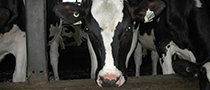Picture of a dairy cow