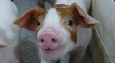 Picture of piglet