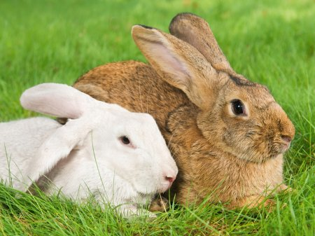 Brown and white rabbit lying together on the grass